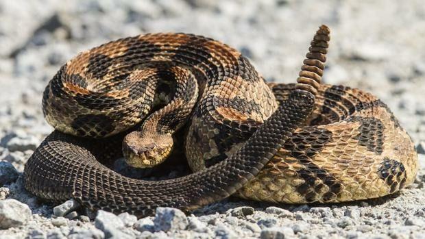Serpiente de cascabel  encontrada en el Campillo